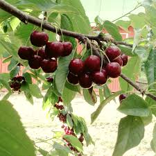 webbers cherries